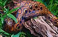 Rainbow Boa (Epicrates cenchria) juvenile (14115578555).jpg