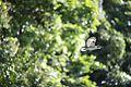 Rainforest kookaburra (8666459777).jpg