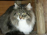 Rania Feux d Aurès chat norvégien.jpg