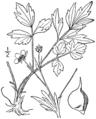 Ranunculus hispidus BB-1913.png