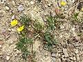 Ranunculus repens sl10.jpg