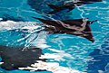 Ray slices through the water IMG 7055.jpg