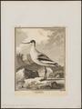 Recurvirostra avocetta - 1700-1880 - Print - Iconographia Zoologica - Special Collections University of Amsterdam - UBA01 IZ17400167.tif