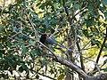 Red-billed Blue magpie - Urocissa erythrorhyncha - P1030936.jpg