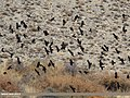 Red-billed Chough (Pyrrhocorax pyrrhocorax) & Yellow-billed Chough (Pyrrhocorax graculus) (38481754871).jpg
