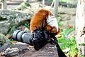 Red-ruffed Lemur eats Nikon F75 (15697132924).jpg