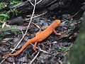 Red-spotted newt - Orange Eft Lizard Plotter Kill Nature Preserve Rotterdam NY 8712 (4854525345).jpg