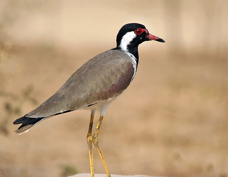 Red-wattled Lapwing I IMG 9198