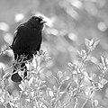 Red-winged blackbird, black & white (10354445534).jpg