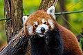 Red Panda (37832727994).jpg