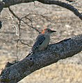 Red bellied woodpecker nebraska.jpg