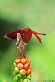 Red darter- using the top of Arum (Araceae) as a raised stand for hunting - bokeh (5135822014).jpg