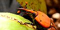 Red palm weevil - Punteruolo rosso (Rhynchophorus ferrugineus).jpg