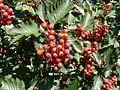 Red tree berries.jpg