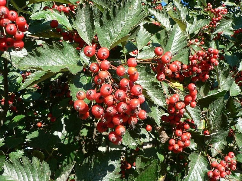 File:Red tree berries.jpg