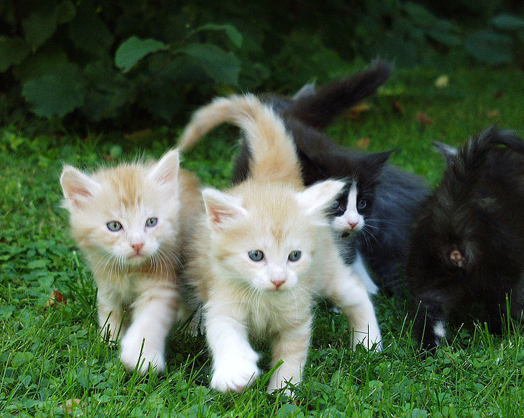 File:Redsilver Maine coon Kittens.JPG