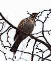 Redwings still around (6829861005).jpg