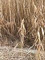 Reed bed (3231584151).jpg