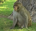 Rhesus Macaque, Red Fort, Agra, India.jpg