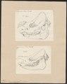 Rhinoceros unicornis - 1700-1880 - Print - Iconographia Zoologica - Special Collections University of Amsterdam - UBA01 IZ22000175.tif