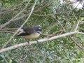 File:Rhipidura fuliginosa vocalizations.ogv