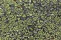 Rhizocarpon sp. (30636896418).jpg
