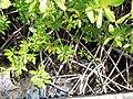 Rhizophora mangle - Petit Ilet Duprey - le Marin - Martinique.jpg