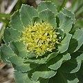Rhodiola rosea (male flower).jpg