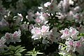 Rhododendron Allegory 6zz.jpg
