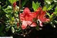 Rhododendron Carnival 1zz.jpg