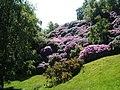 Rhododendron Ponticum, near Stanton Woodhouse - geograph.org.uk - 1330001.jpg
