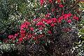 Rhododendron arboreum, Western Arunachal AJTJ(3).jpg