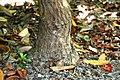 Rhododendron arboreum in Christchurch Botanic Gardens 01.jpg