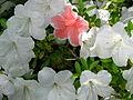 Rhododendron cv. 051.JPG