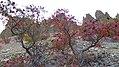 Rhus glabra at Saddlerock, Chelan County Washington 2.jpg