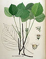 Rhus toxicodendron — Flora Batava — Volume v16.jpg