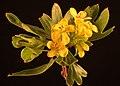 Ribes aureum kz01.jpg