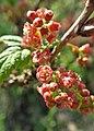 Ribes petraeum kz02.jpg