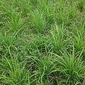 Rice leaf.jpg