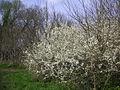 Richmond 073 May blossom.JPG
