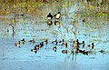 Ring-necked Duck Dutch Gap Conservation Area Chester VA 8625 (23907000412).jpg