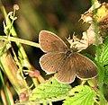 Ringlet butterfly (Aphantopus hyperantus) - geograph.org.uk - 1396265.jpg