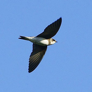 Sand martin - Flying in Scotland