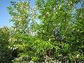 Robinia pseudoacacia 7.jpg