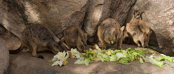 Wallaby delle rocce alleati mentre si nutrono su Magnetic Island.