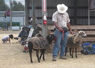 Romeldale sheep breed