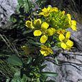 Rorippacurvisiliqua.jpg