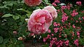 Rosa 'Hamamirai' at Ishida Rose Garden in Odate, Akita, Japan.jpg