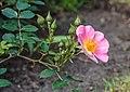Rosa 'Topolina' (d.j.b) 01.jpg