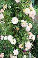Rosa Phyllis Bide - Giverny02.jpg